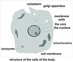 en-Struktura celije